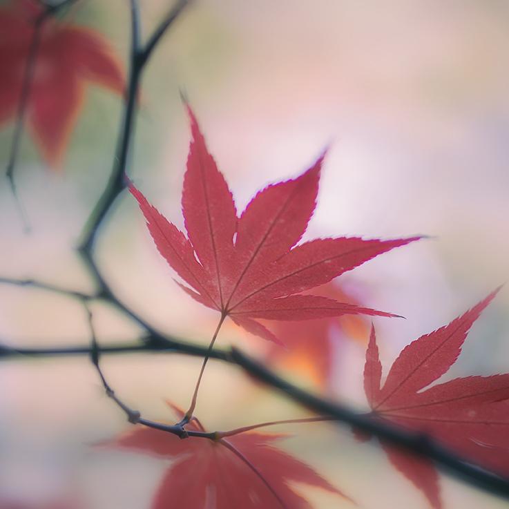 jo stephen photography acer leaf