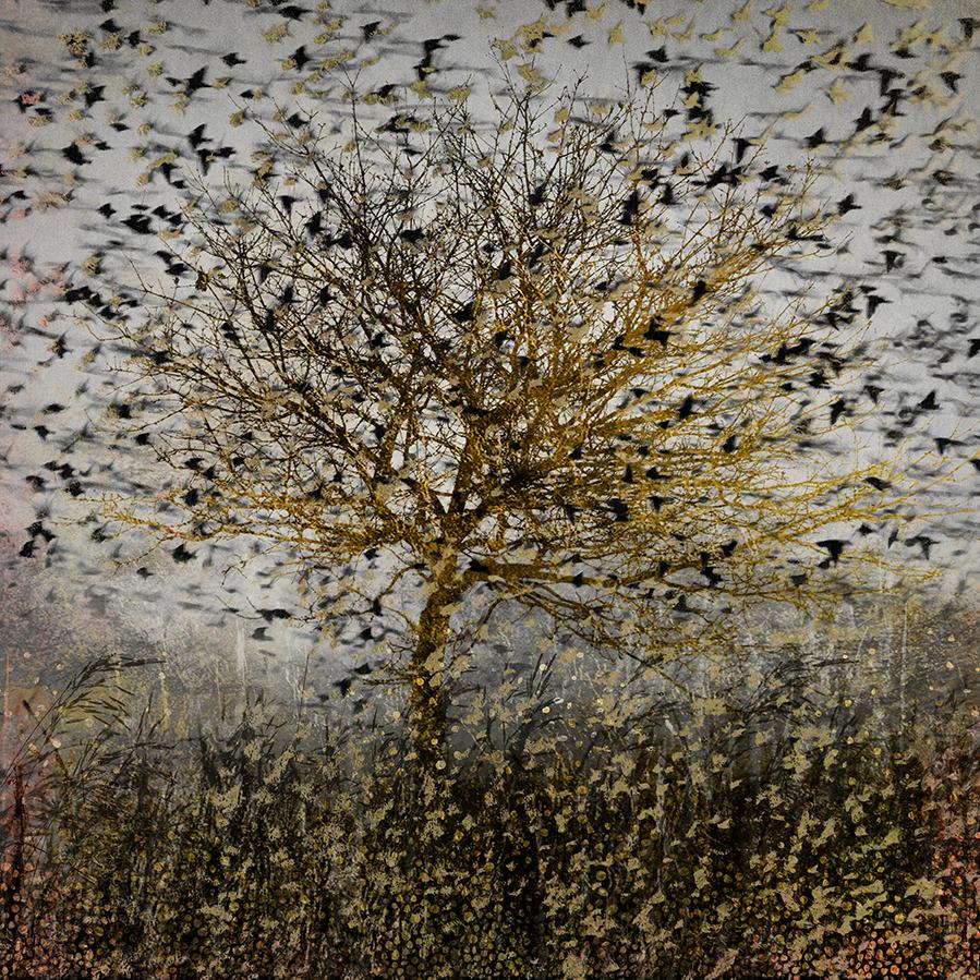 go stephen photography murmuration starlings