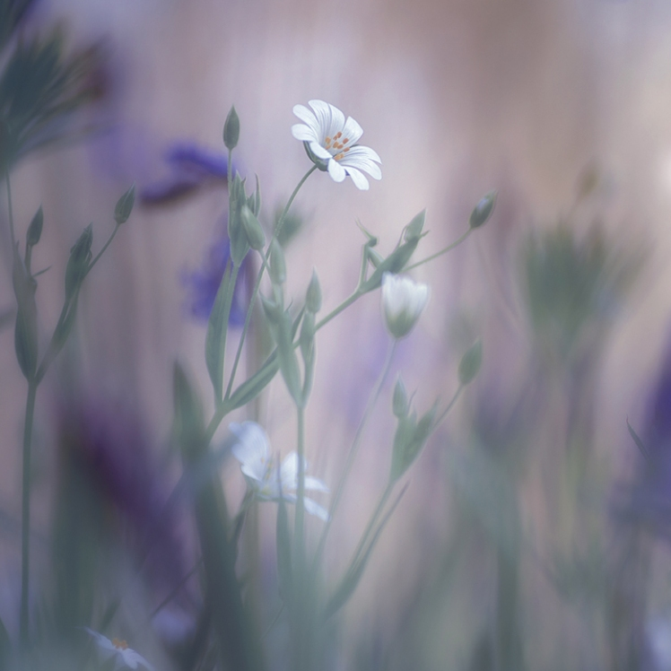 stellaria holostea ethereal photography